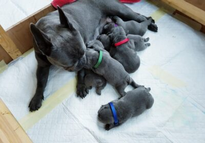 french bulldog puppies solid blue 5dcfcc6b0842f