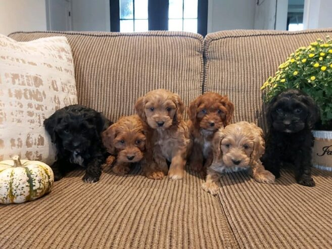 cockapoo_puppies_available-20201212-0003