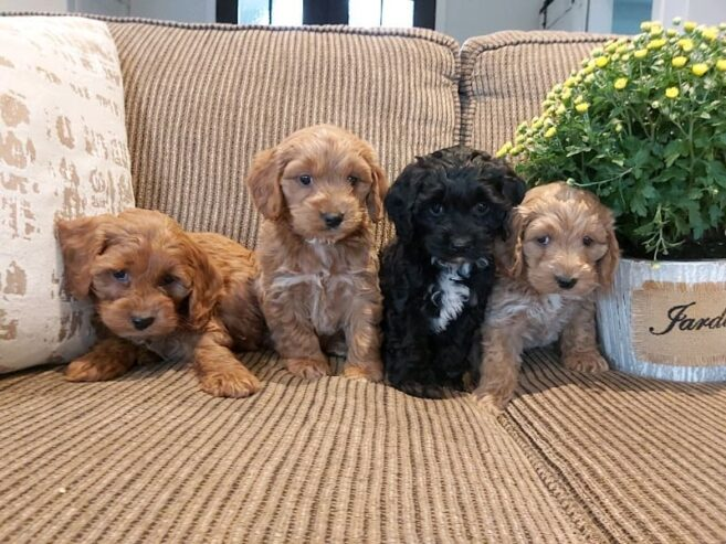cockapoo_puppies_available-20201212-0004