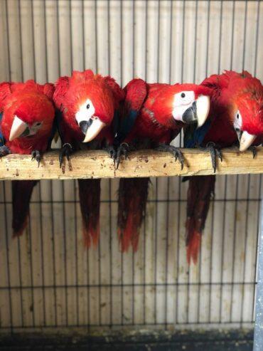 supertame-baby-scarlet-macaw-5fc285eab7fba